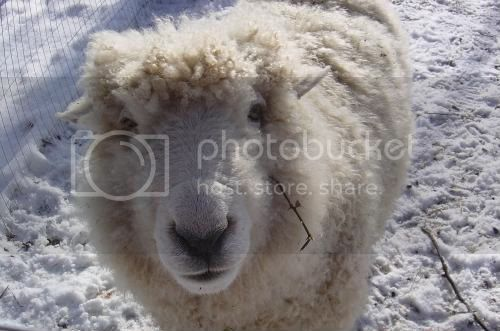 Sheep from Manna Storehouse (pic from Manna Storehouse website)